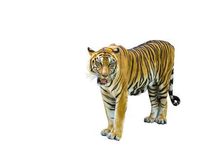 Tiger pictures on white background have different verbs. Stock Photo