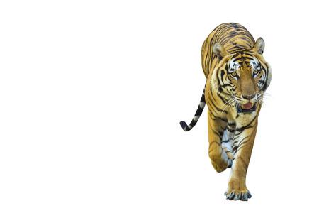 Las imágenes de tigre sobre fondo blanco tienen diferentes verbos. Foto de archivo
