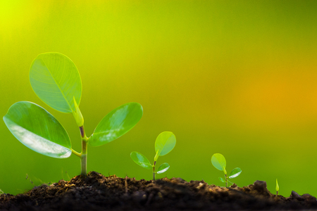 The growth of the tree begins from seedlings to the beginning. Yellowish green Can write letters