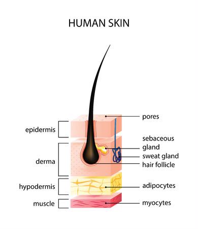 Capa de piel humana sana con poros y uso médico de tejido muscular, ilustración vectorial