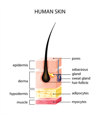 Healthy human skin layer with pores, and muscle tissue medical use, vector illustration