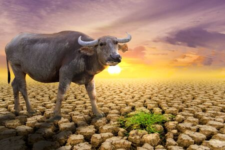 The concept of natural drought of the environment on Earth: causes animals (buffalo) lacking food, dry soil, soil, background, soil surface with soil erosion Stock Photo