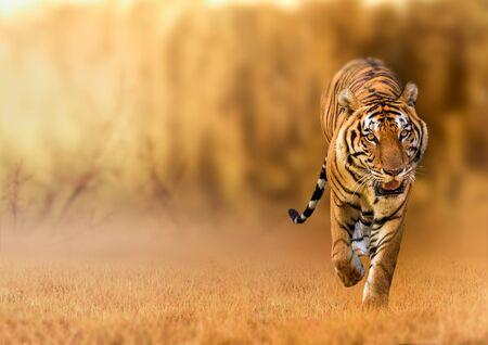 Tigre, marchant dans la lumière dorée Est un animal sauvage chassant L'été dans des zones chaudes et sèches et de belles structures de tigre