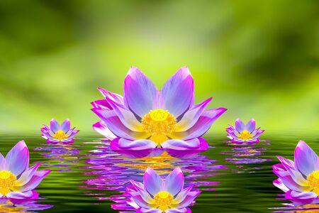A beautiful pink lotus flower or lotus flower in the pool Reklamní fotografie