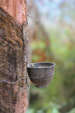 taza de agua al vicio látex del árbol del caucho.