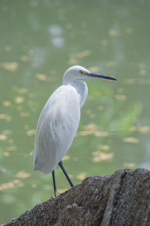 Great white egret standing on stone in public park. Stock Photo