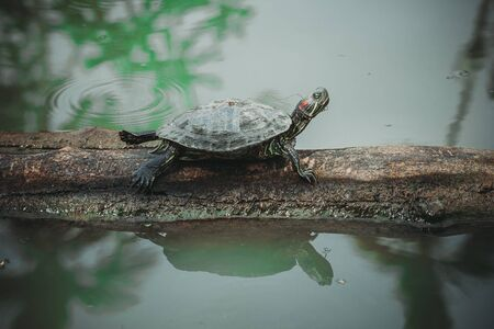 The turtle sitting on timber in fresh water pond.