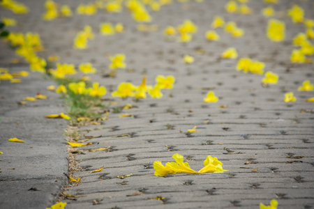Yellow flowers or common name golden trumpet on concrete footpath yellow flowers or common name mightylinksfo