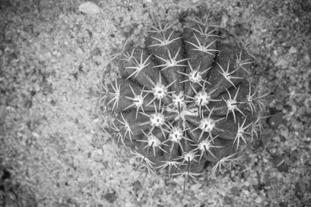 Top view close up of shaped cactus with long thorn in black and white effect. (Soft Focus) Stok Fotoğraf