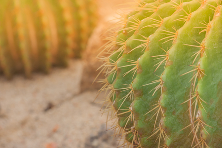 Close up barrel cactus and long thorn with sunlight background. (Autumn filter effect)