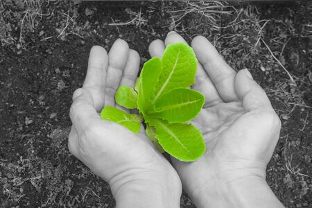 Woman hands holding and caring a green young tree with brown soil on black and white background. Stok Fotoğraf