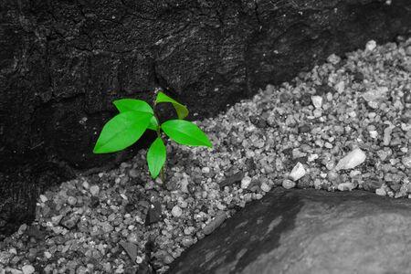 Sluit omhoog jonge groene bladeren op zwart-witte achtergrond. Het groeit door bruine grond naast de rivier in bos. Stockfoto