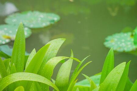 Close up green leaves with lake background at public park in rainy day. Stok Fotoğraf - 87298222