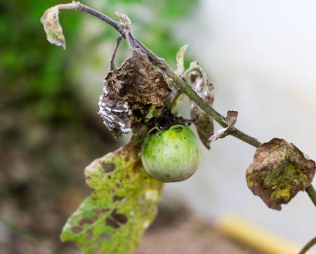 Champignon sur les feuilles de l & # 39 ; aubergine Banque d'images - 99085053