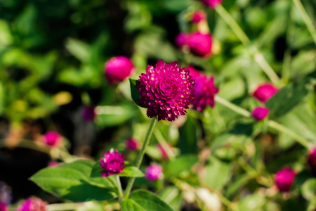 Beautiful purple flowers in Surat Thani Thailand