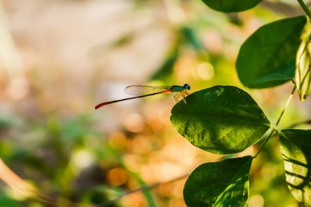Dragonfly on the leaves of grass in the evening in Thailand Surat Thani