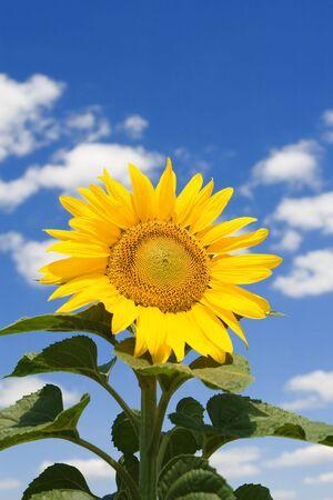 amazing sunflower and blue sky background photo
