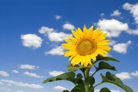 amazing sunflower and blue sky background photo