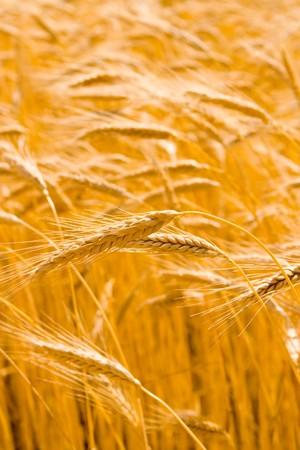 golden wheat field Stock Photo - 4210441