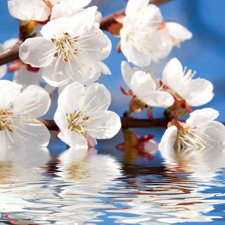 spring beauty photo