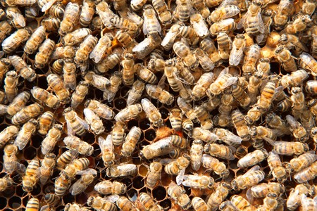 many bees on honeycombs  photo