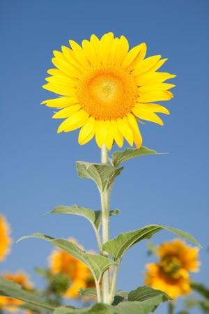 amazing sunflowers and blue sky background  photo