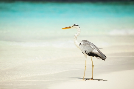 azure coast: Grey Heron