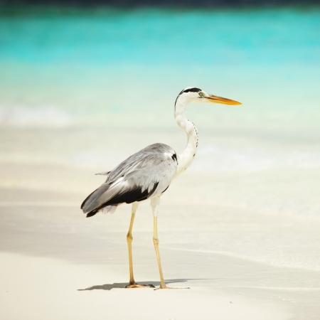Grey Heron photo