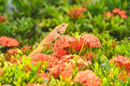 Brown thai lizard  on red flower in tropical garden
