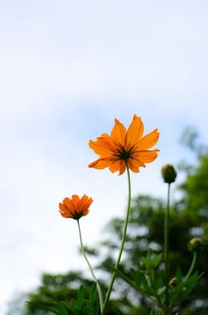 Yellow flower in tropical garden of Thailand photo