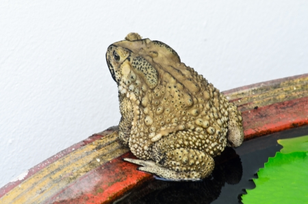 Brown toad sitting no a lily pond photo