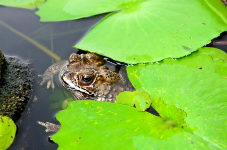 Brown toad in a lily pond partially under water photo