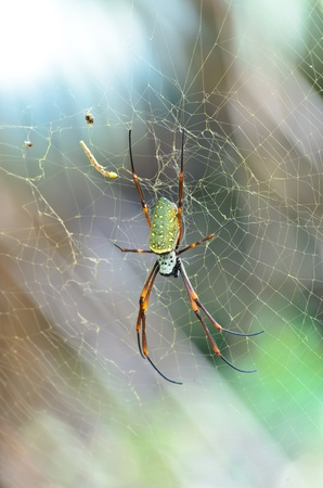arachnidae: Female Giant Golden Orb Weaver Spider in Thailand