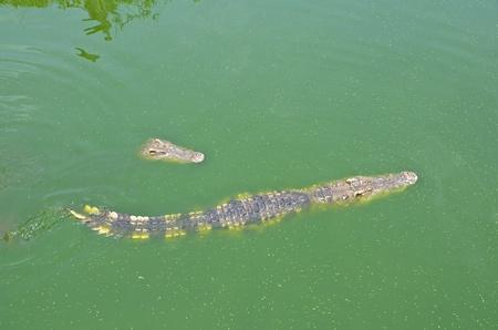 samutprakarn: Crocodile in water at at Samutprakarn crocodile farm & zoo , Thailand Stock Photo