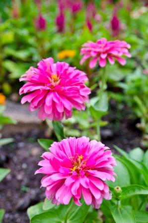 Pink  gerber daisies in Spring