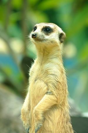 meerkat in with blur background  Open safari in Thailand