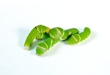 pupation: Group of Green caterpillar isolated on white Stock Photo