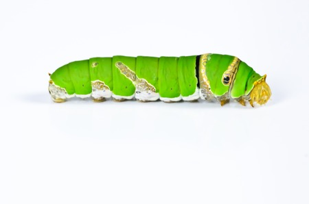 Green caterpillar on white background photo