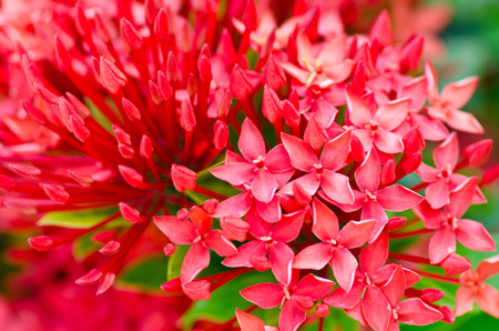 Red Ixora or West Indian Jasmine Flower for background Stock Photo