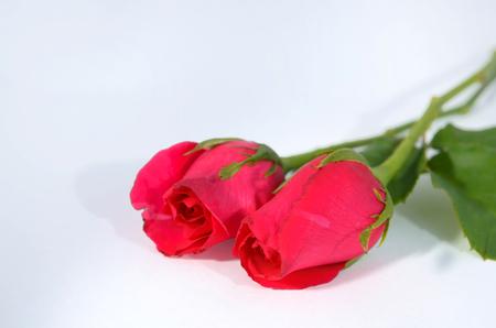 beautiful rose isolated on white background Stock Photo