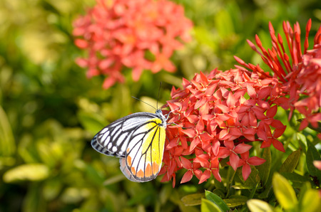 Close up of the Plain Tiger butterfly perching on red Ixora flower photo