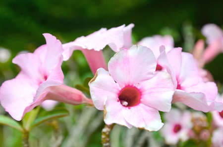 Pink Adenium rose. Stock Photo - 25832032