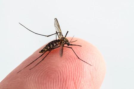 Mosquito isolated on white background Stock Photo