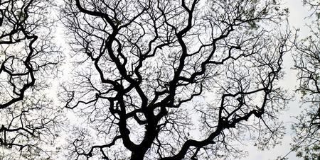 samanea saman: Samanea saman tree or rain tree