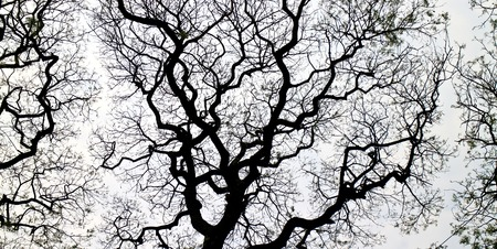 Samanea saman tree or rain tree