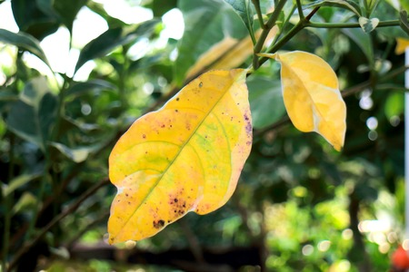 yellow leaves on tree