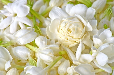 Group of white  jasmine for making festoon photo