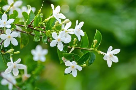 white  jasmine with dew on tree
