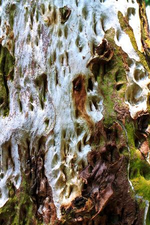 Eucalyptus bark texture background Stock Photo
