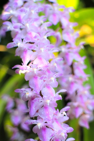 Rare wild orchids in Thailand photo